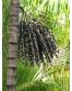 Ekologiški aliejinės kopūstpalmės vaisių milteliai AMRITA, 150 g